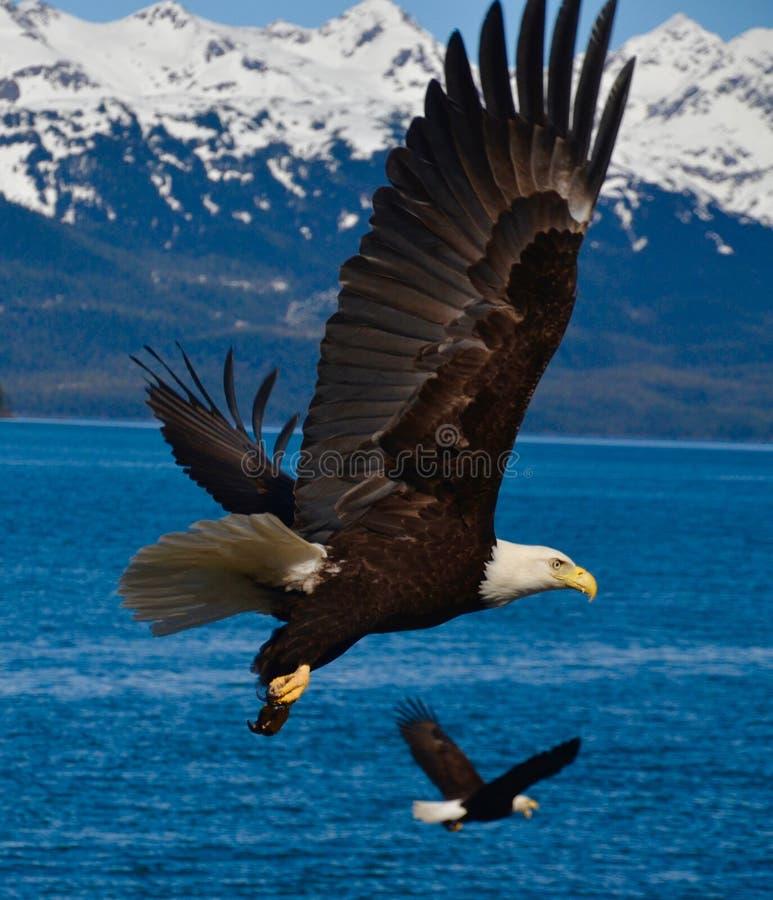 Deux Eagles en vol images libres de droits