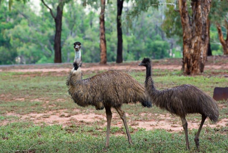 Deux emus australiens dans sauvage images libres de droits