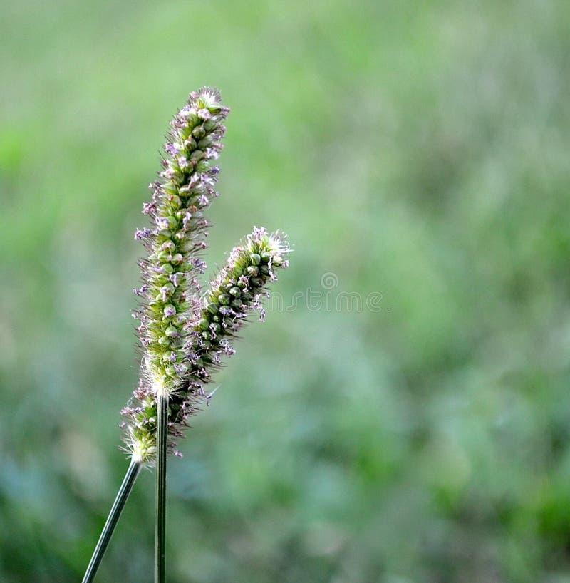 Deux ensemble - mauvaises herbes assez petites minuscules photographie stock libre de droits