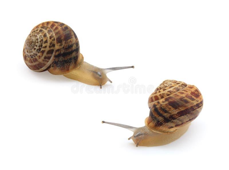 Deux escargots d'isolement image stock