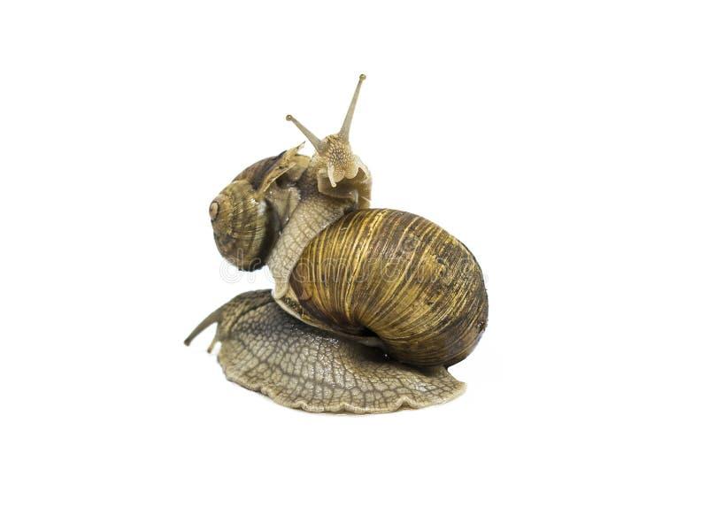 Deux escargots de jardin, petit escargot est sur grand D'isolement sur le blanc photographie stock libre de droits