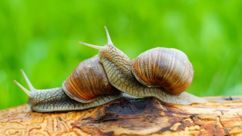 Deux escargots de raisin jouent photo stock