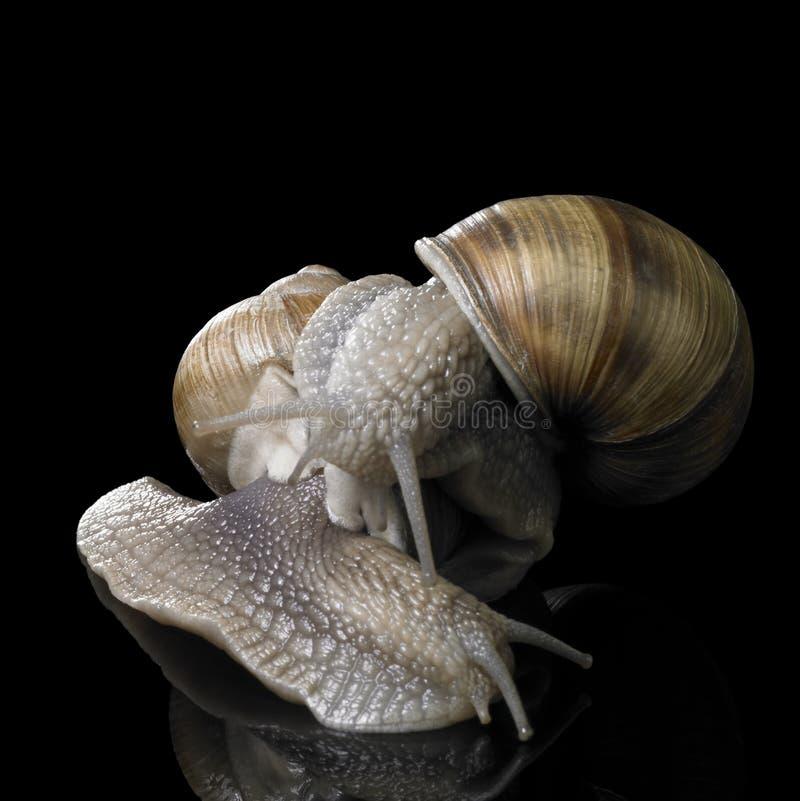 Deux escargots de vigne sur l'un l'autre image libre de droits