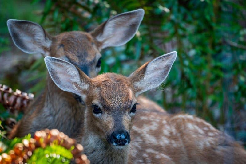 Deux Fawn Deers Hiding Among Ferns dans la forêt images libres de droits