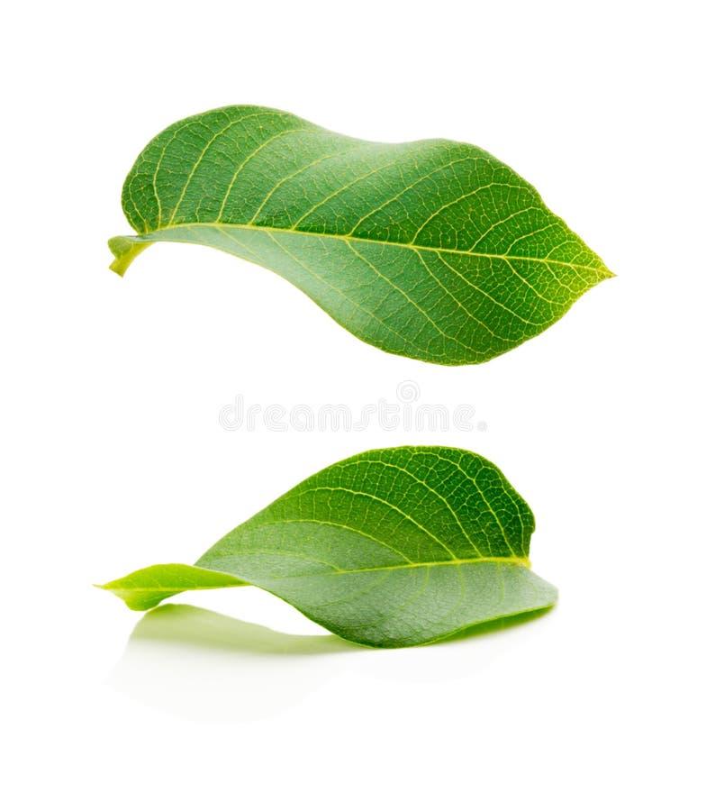 Deux feuilles fraîches de vert d'isolement sur le fond blanc photo stock