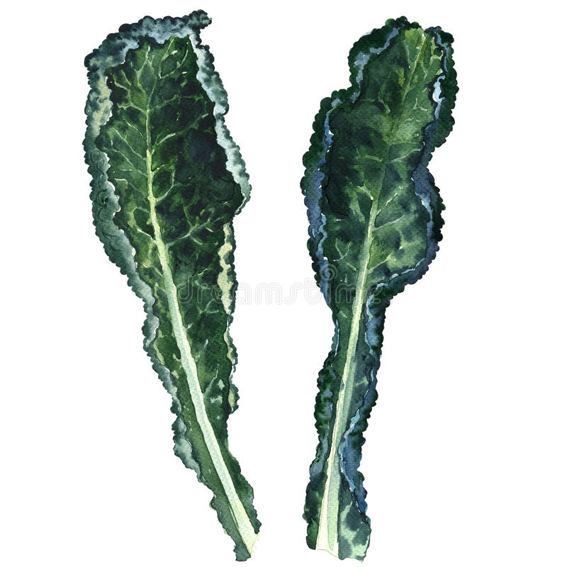 Deux feuilles noires fraîches de chou frisé d'isolement, illustration d'aquarelle illustration stock