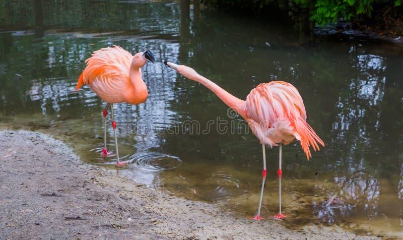 Deux flamants chiliens exprimant le comportement dominant et agressif, comportements animaux, oiseaux tropicaux d'Amérique photo libre de droits