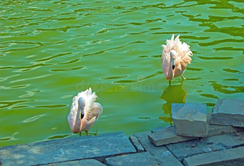 Deux flamants pataugeant dans un canal photographie stock