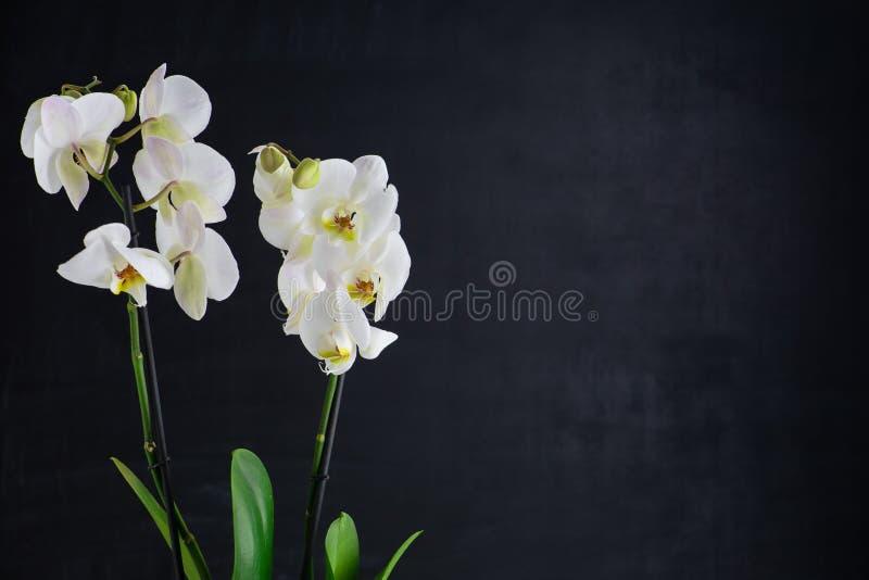 Deux fleurs blanches d'orchidée images libres de droits