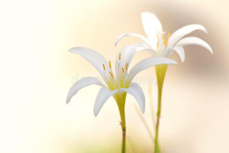 Deux fleurs blanches de lis de pluie photographie stock