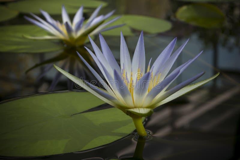 Deux fleurs bleues de Nile Waterlily (Nymphaea Caerulea) dans l'étang images libres de droits