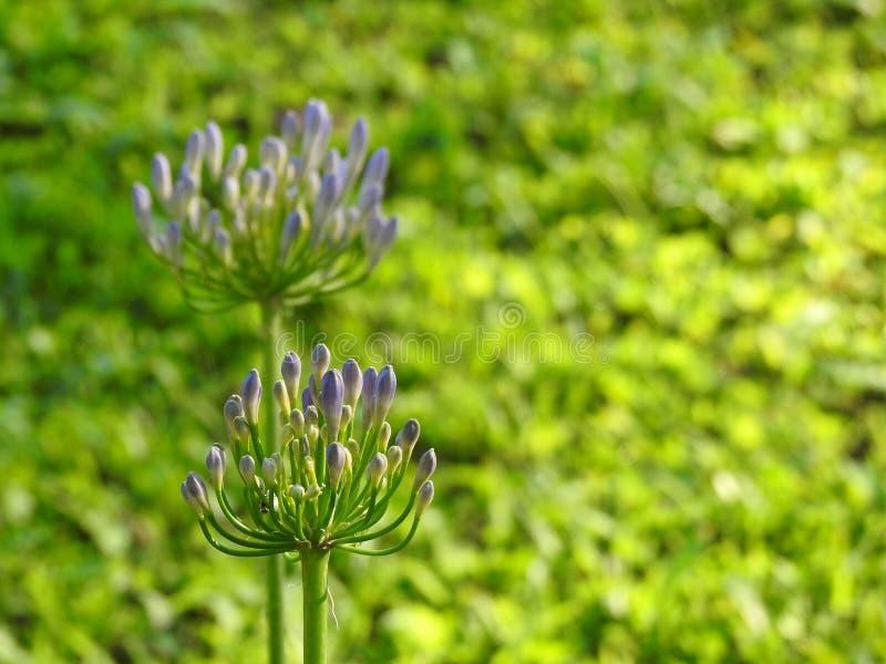 Deux fleurs d'agapanthus dans très un domaine de vert au printemps images libres de droits