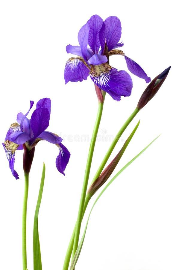 Deux fleurs d'iris photo stock