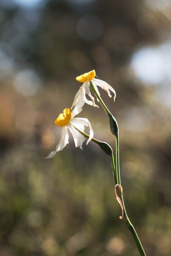 Deux fleurs dans l'inflorescence du narcisse israélien sauvage photos stock