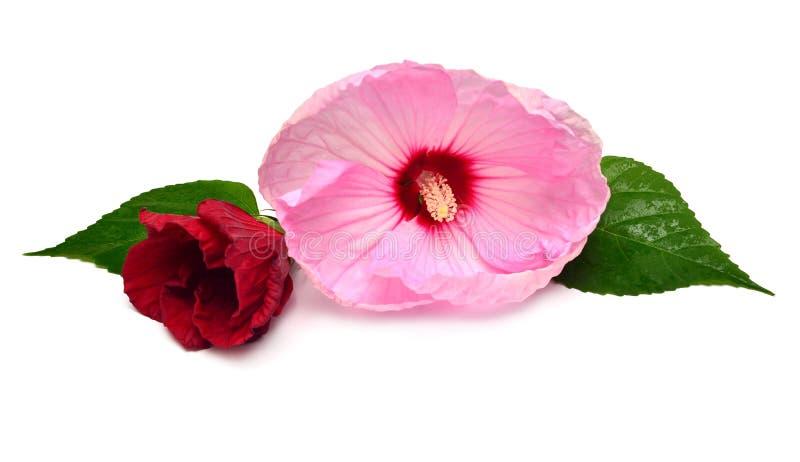 Deux fleurs de ketmie de couleur rouge et rose avec la feuille photographie stock