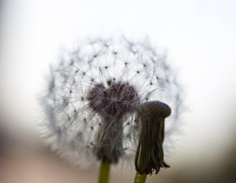 Deux fleurs de pissenlit : sans graines et avec la tête globulaire de s photos stock