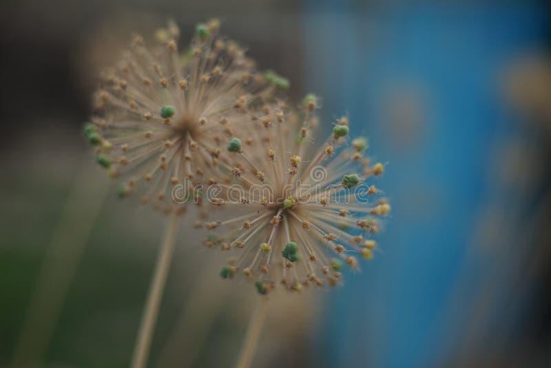 Deux fleurs en épi rondes, tête de graine dans le jardin image stock