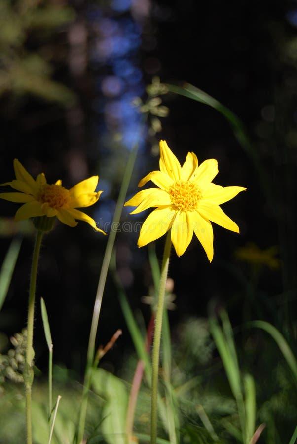 Deux fleurs jaunes en fleur photographie stock libre de droits