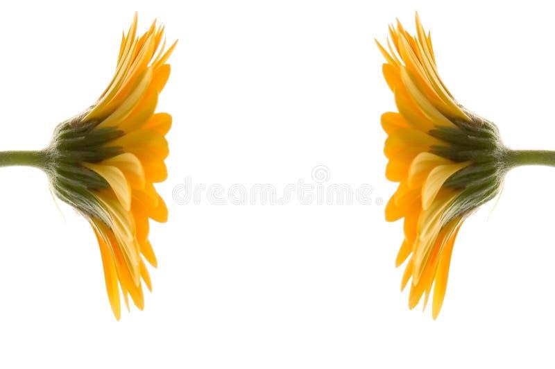 Deux fleurs jaunes ensemble photographie stock