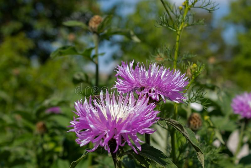Deux fleurs lilas de floraison dans le jardin en abondance des tiges vertes ? l'arri?re-plan photo stock