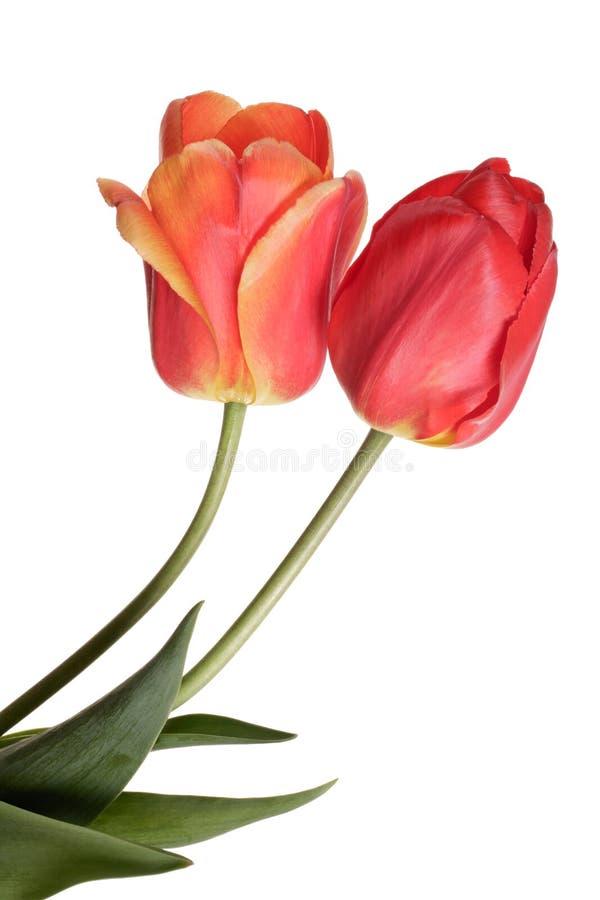 Deux fleurs roses de ressort Tulipes d'isolement sur le fond blanc photo stock