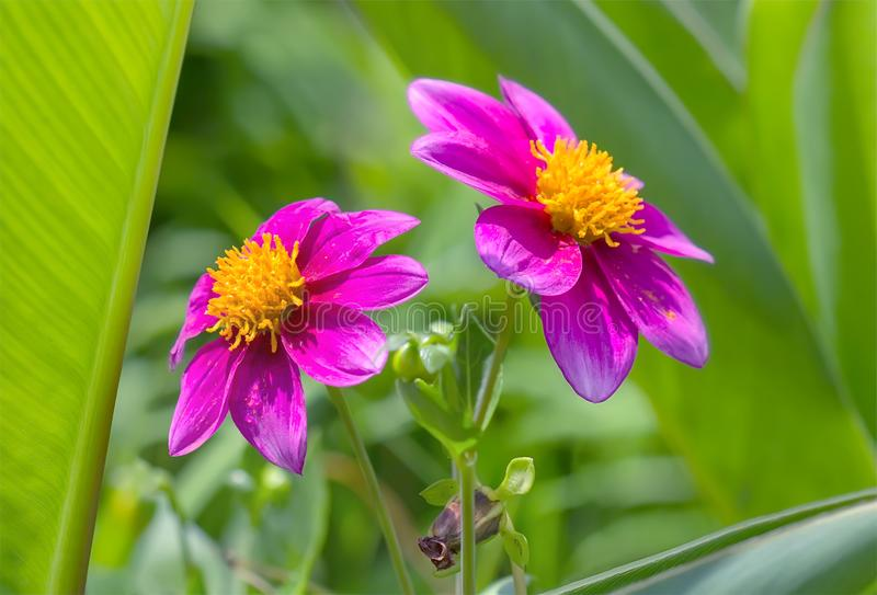 Deux fleurs roses fleurissantes de jardin photos libres de droits