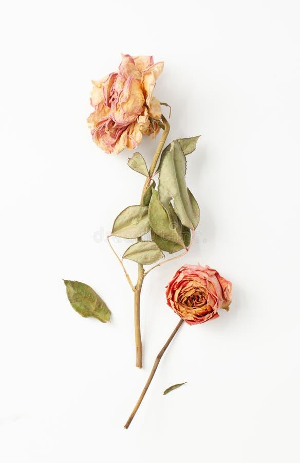 Deux fleurs roses sèches de tige et feuilles sur le fond blanc photographie stock