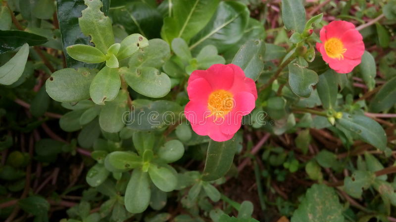Deux fleurs rouges photo libre de droits