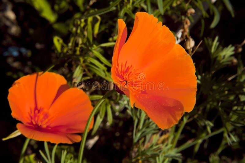 Deux fleurs rouges d'escholzia photo stock