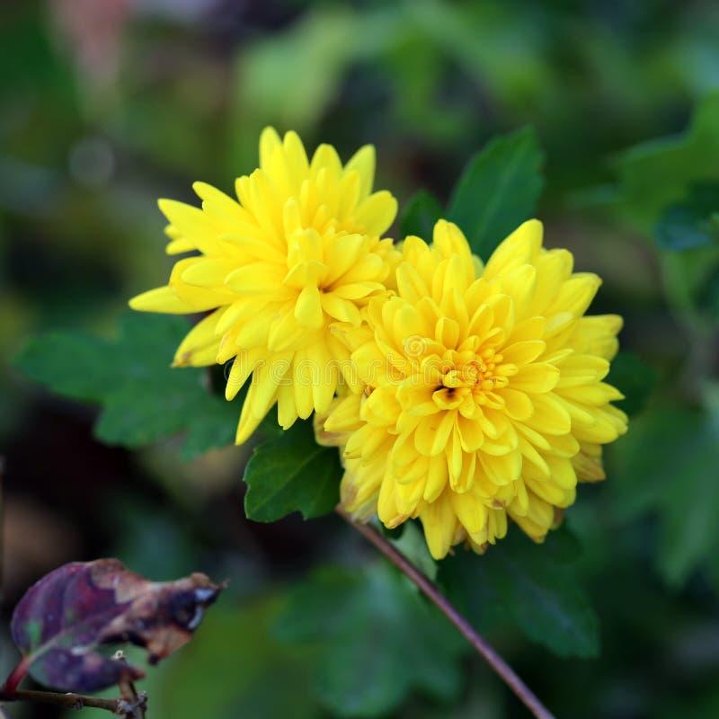 Deux fleurs sauvages jaunes lumineuses de floraison entourées avec les feuilles vert-foncé photos stock