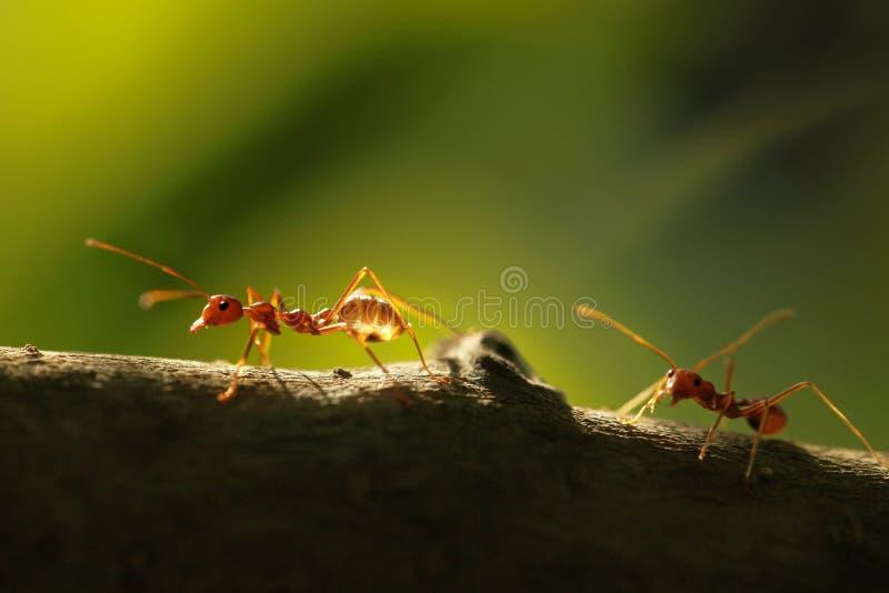 Deux fourmis photographie stock