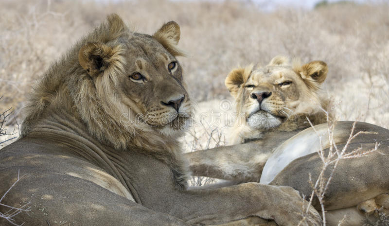 Deux frères de lion photographie stock libre de droits