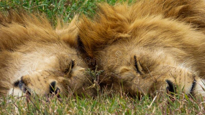 Deux frères de lion dorment ensemble images libres de droits