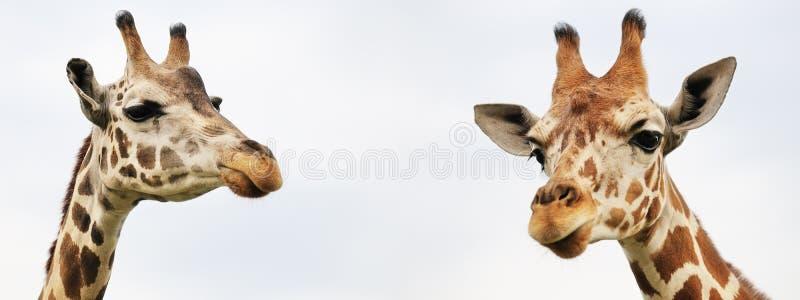 Deux girafes images libres de droits