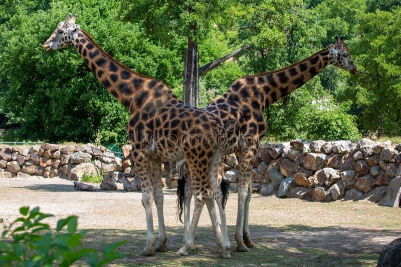 Deux girafes dans le zoo images stock