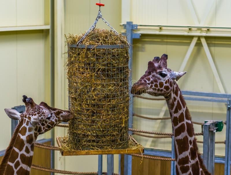 Deux girafes réticulées mangeant d'un panier de foin, équipement de alimentation de zoo animal photo libre de droits