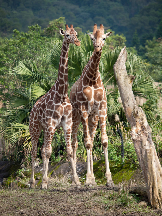Deux giraffes photo stock