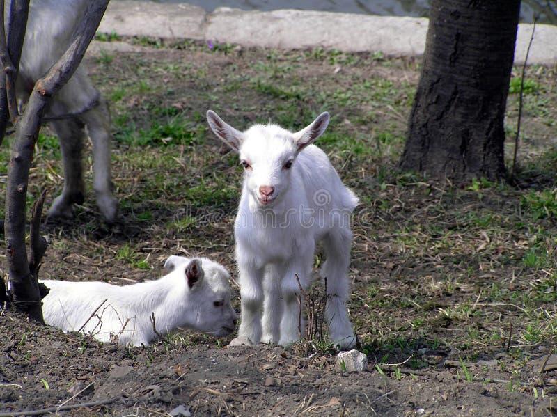 Deux goatlings très gentils images libres de droits
