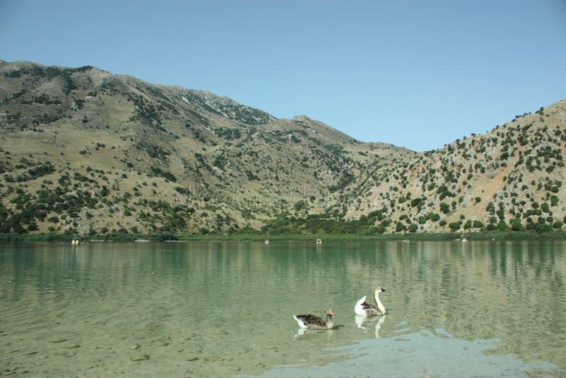 Deux gooses sauvages sur le lac de montagne photos stock