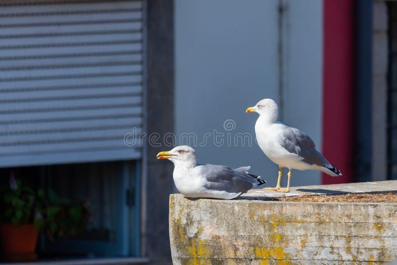 Deux grandes mouettes blanches sur le fond d'un toit carrel? rouge dans la ville de Porto portugal photo libre de droits