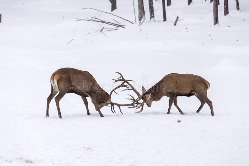 Deux grands cerfs communs rouges dans un combat images stock