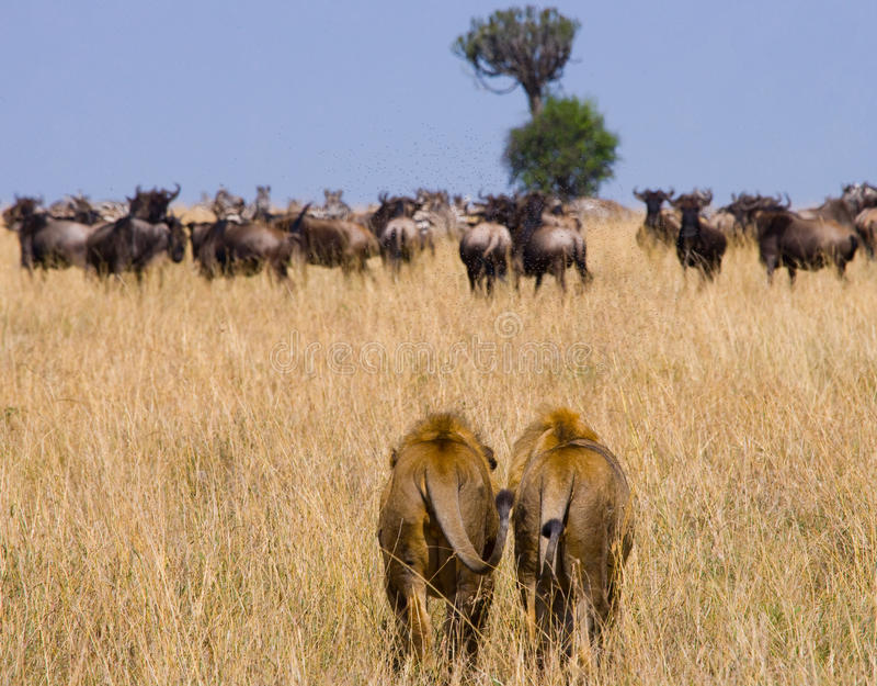 Deux grands lions masculins sur la chasse Stationnement national kenya tanzania Masai Mara serengeti photos stock