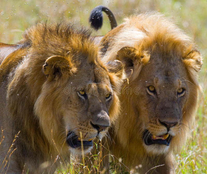 Deux grands lions masculins sur la chasse Stationnement national kenya tanzania Masai Mara serengeti images stock