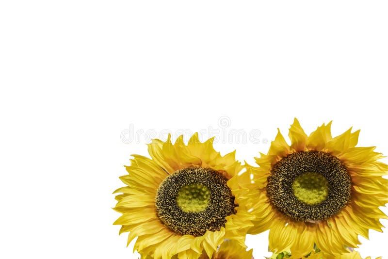Deux grands tournesols jaunes lumineux sur un fond blanc - pièce pour la copie images stock