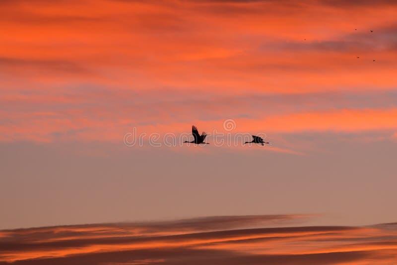 Deux grues de Sandhill au lever de soleil photo libre de droits