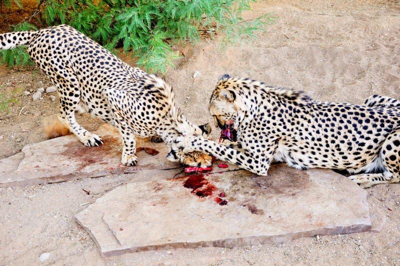Deux guépards dedans en captivité, alimentant photo libre de droits