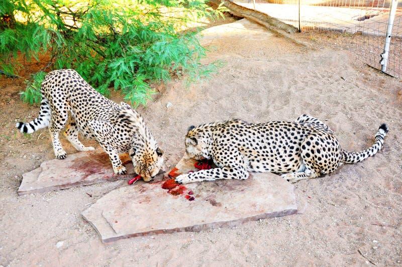 Deux guépards dedans en captivité, alimentant image libre de droits