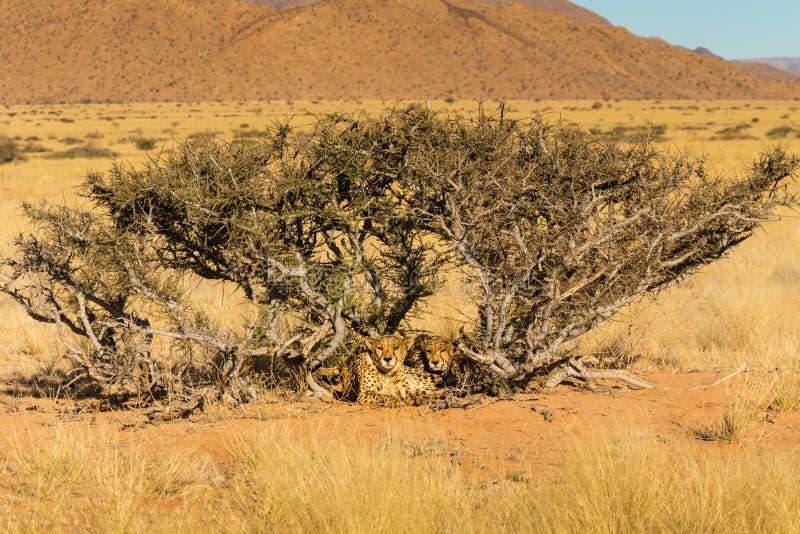 Deux guépards Namibie image libre de droits