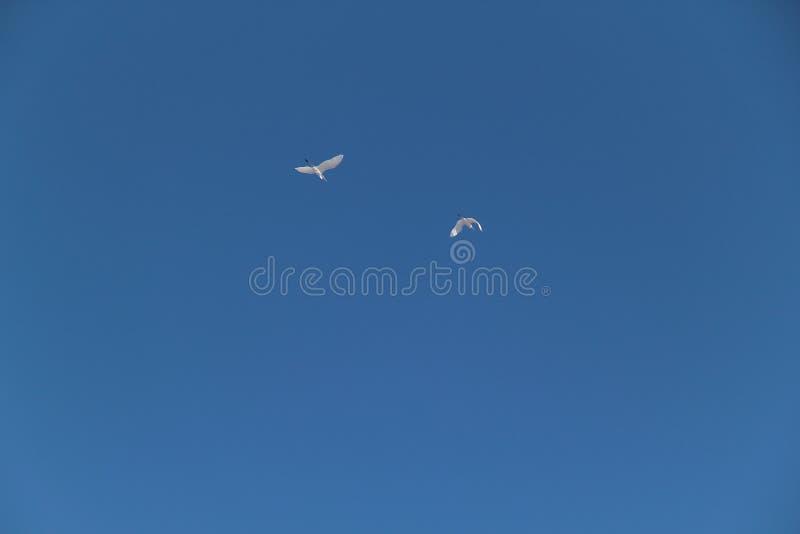 Deux hérons blancs volent contre le ciel bleu photos stock