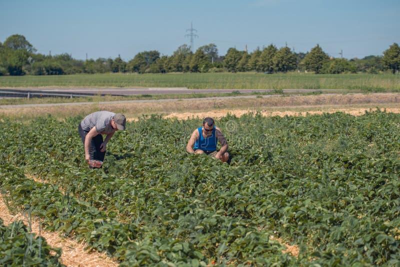 Deux hommes moissonnent des fraises sur un champ en Allemagne image libre de droits